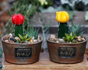 Moon cactus Dish garden,Red Moon Cactus,Yellow Moon Cactus,Haworthia,Succulent,Nice Father's day Gift,decorative Clay pot,Ready to Ship