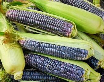 Blue Jade Dwarf Sweet Corn Seeds Heirloom Super Rare Open Pollinated Non GMO
