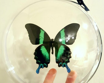Real Butterfly Blue Green Indonesian Papilio Blumei Swallowtail Christmas Ornament Gift