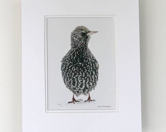 Photograph - 5 x 7 - Starling