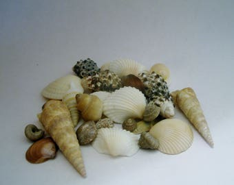 Small Seashells - Fairy Garden - Terrarium - Miniature Gardening - Craft Supply