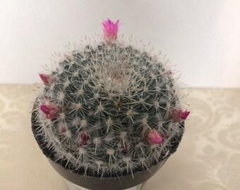 Medium Cactus Plant Mammillaria Hahniana. This Cactus looks like it has just caught fresh fallen snow.