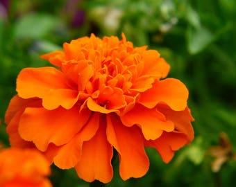 French Marigold Mix, OP/Heirloom 20+ seeds,  garden classic mixed color flowers