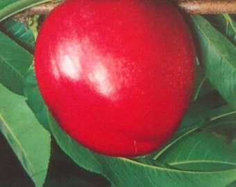 4'-5' Red Golden Nectarine Tree Plant Live Fruit Trees Grow Freestone Healthy Fresh Natural Nectarines New Home Garden Best Orchard Plants