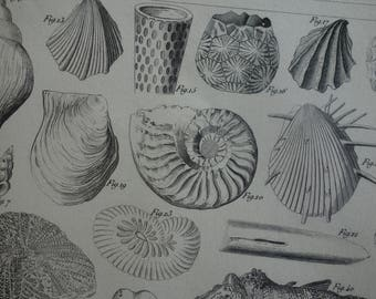 SHELLS original 160+ year old fossils print - lovely 1849 poster with old pictures of shell coquilles muscheln coquille illustration prints