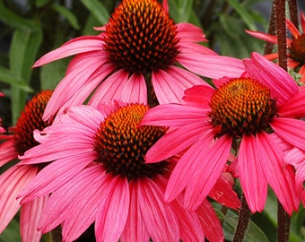 PBCO) GLOWING DREAM Coneflower~See ds!!!!~~~~Flaming Beauty!!