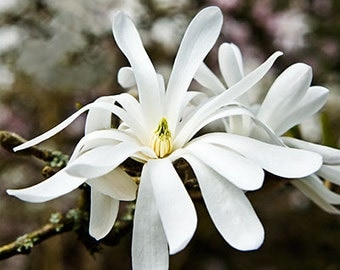 TS) WHITE STAR Magnolia Tree~Seed!!~~~~~~~~Hardy Beauty!