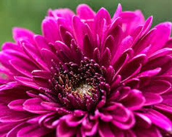 PBCHR) PURPLE CUSHION Chrysanthemum~Seed!!~~~~~~~Lively Autumn Blooms!