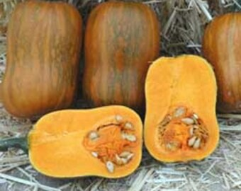 VSQWB)~HONEYNUT SQUASH~Seeds!!!~~~~Derived from the Delicious Butternut!!