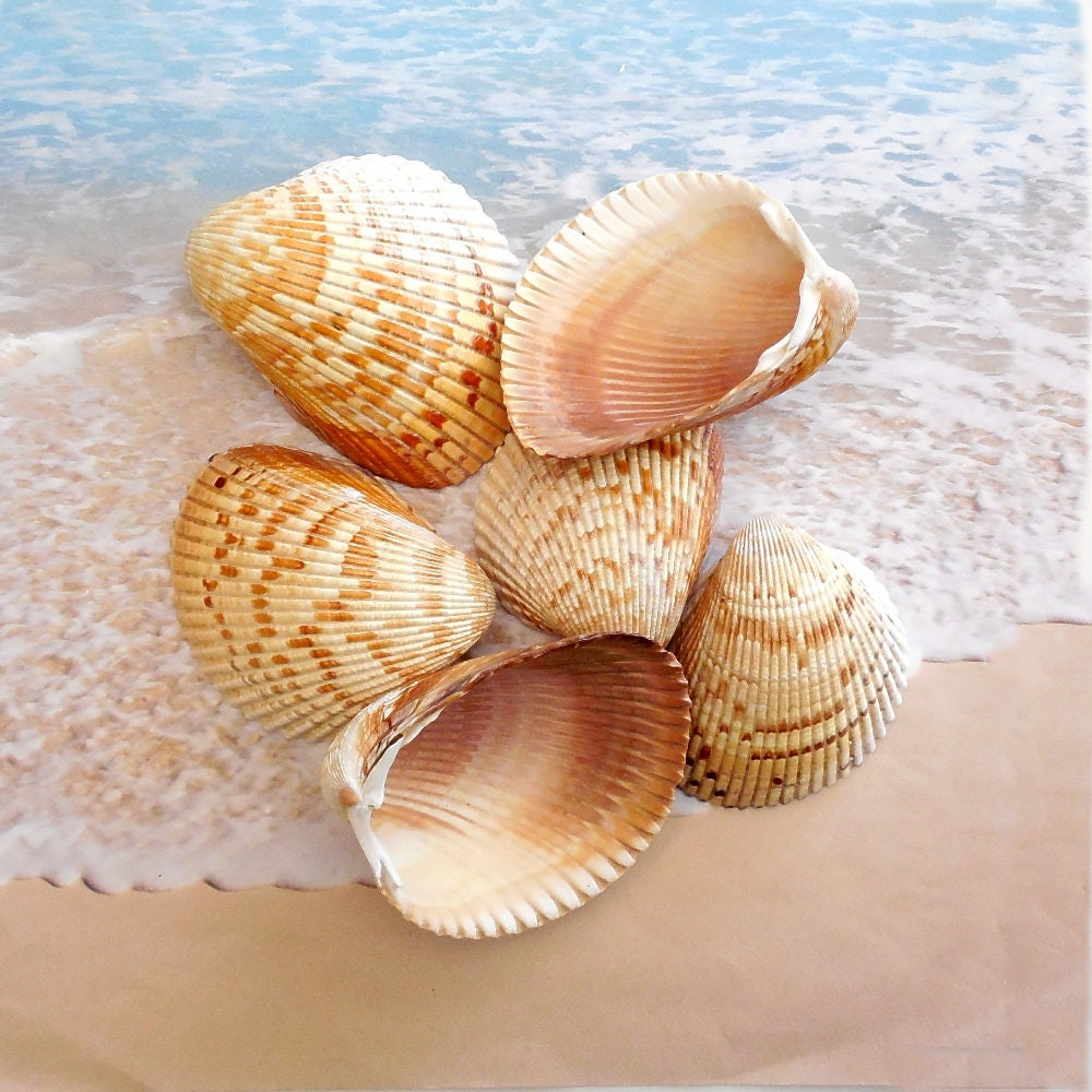 Large Cockle Shells Set Of 6 Florida Seashells Ark