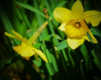 Flower photography/yellow flowers/4x6
