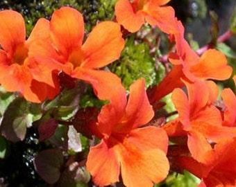 Mimulus- Monkey Flower -Twinkle Orange- 100 Seeds