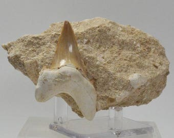 Fossil Shark Tooth in Matrix from Morocco
