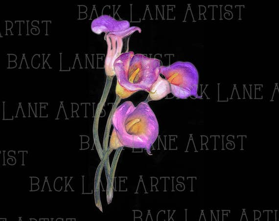 purple calla lily flower watercolor drawing clipart