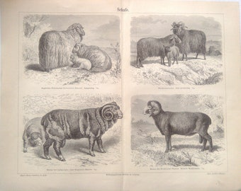 "Lithography, ""Sheep""."