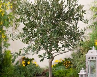 Canino Olive Tree Seeds (Olea europaea) 5+Seeds