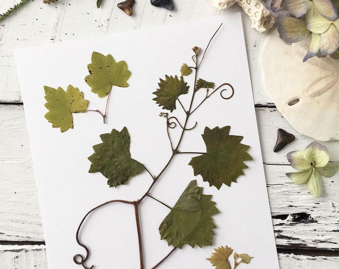 Real Pressed Flowers:  Natural Florida Grapevine with Tendrils > Dye Free - Biodegradable - ECO Friendly