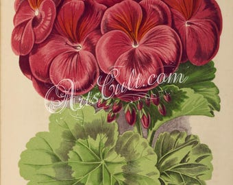 flowers-32447 - pelargonium imogen red geranium shrub vintage printable floral botanical illustration picture image storksbill digital jpeg
