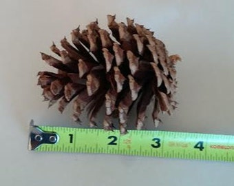 NC Loblolly Pine Cones  - Medium Size - from Rocky Pine Farm, NC - Crafts or Decor
