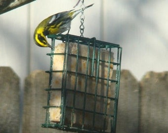 Dried Fruit Suet - Bird Suet – Fruit Suet – Fruit Bird feeder