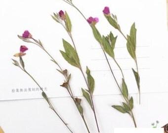Pressed Flower Evening Primrose Pack of 12 | Dried Flowers | Flatten Flowers | Real Flowers