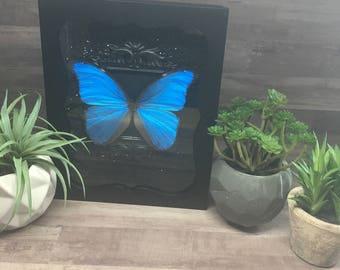Sky Blue Morpho (Common Name) or Morpho menelaus alexandrovna (Scientific Name) Framed Shadow Box Butterfly