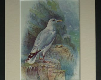 1950s Vintage Herring Gull Print, Ornithology Gift, Available Framed, Nature Art, Bird Picture, Seagull Gift, Natural History, George Rankin