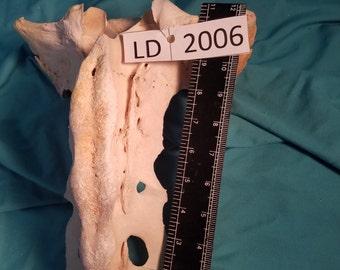 Cow Sacrum Bone - Cow Tail Bone - LD2006