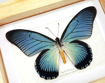FREE SHIPPING Real Framed Papilio Zalmoxis Giant Blue Swallowtail Butterfly Taxidermy High Quality A1/A1-