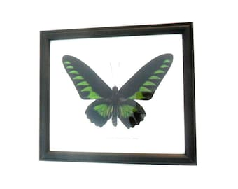 "Real  Butterfly Butterflies Framed Display Rare Insect Taxidermy frame 7.75""x6.75"