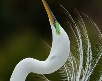 Great Egret Display, Kissimmee, Florida