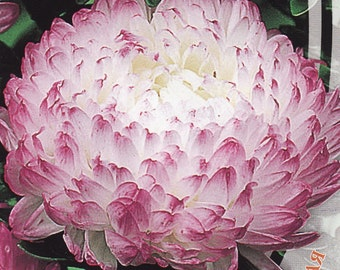 Aster Flower Seeds Peony Anel annual from Ukraine#956
