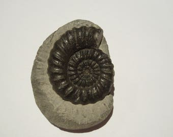 Androgynoceras Maculatum Ammonite - SUPER PREP WORK - North Yorks Coast, uk