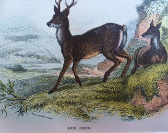 1896 Roe Deer Antique Print, Mounted, Matted & Ready to Frame