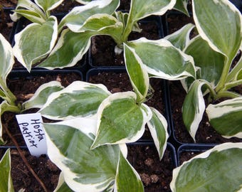 5 Patriot Hosta plants