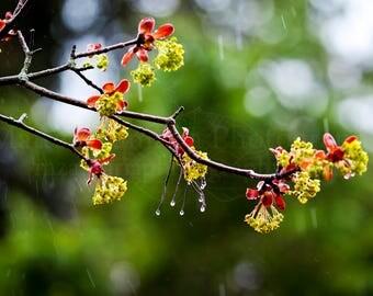 Budding Maple Sprig 2 Photo Print; Leaf Photography, Forest Photography, Nature Photography, Outdoor Photography, Spring || PHYSICAL PRINT