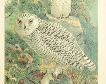 beatiful old lithografic  print owl 1905