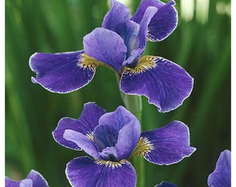 "Silver Edge Iris, Siberian Iris, Purple Blue Flowers, 1 Potted Plant 4"" Pot, Perennial, Fragrant, Award Winning, Garden, Landscape"