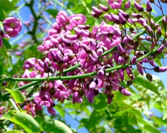 Millettia Pinnata Tree, Flowering Pongamia 10/25/50 Seeds, Biofuel Crop Of The Future!