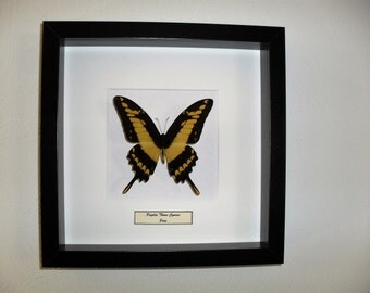 Framed butterfly Papilio Thoas