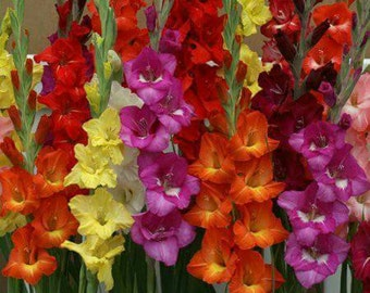 Multi-Colored Mixed Gladiolus LIVE PLANTS! sprouted bulbs