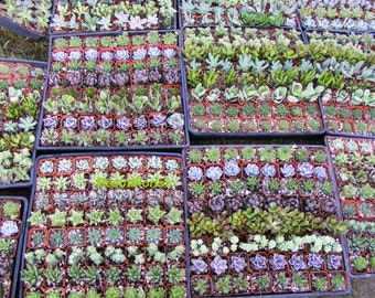 75 Assorted Succulent Plants 2 inch pot !! Great for wedding party favors