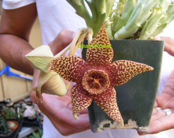 Orbea Variegata Cactus Succulent Star Fish Flower