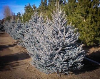 Colorado Blue Spruce 1 Gallon