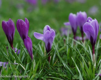 Crocus Photograph - Nature - Spring Flowers - Blossoms - Wall Art -