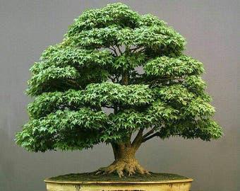 Lotto 2 semi bonsai acero green maple
