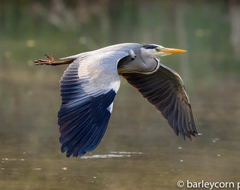 Heron in flight- colour photographic wall art print- nature picture- bird photography- wildlife photography