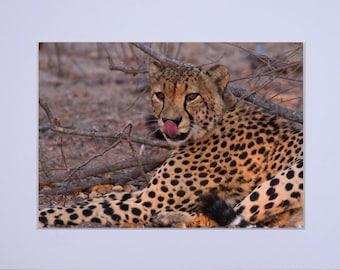 The Taste of Success - Cheetah - Fine Art Print
