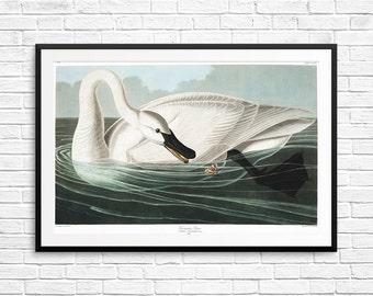Trumpeter swan, white swan, white swan poster, white swan print, Birds of American, Audubon art, vintage etchings, vintage poster prints