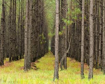 Pines in Wewahitchka